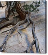 Tree Roots On The Tent Rock Acrylic Print