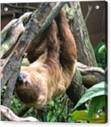 Tree Sloth Acrylic Print