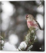 Tree Snow Sitter Acrylic Print