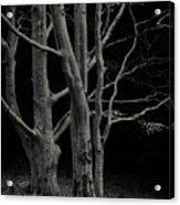 Beech Tree Acrylic Print