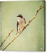 Tree Swallow 4 Acrylic Print