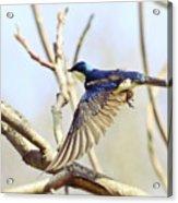 Tree Swallow In Flight Acrylic Print