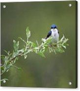 Tree Swallow Male Acrylic Print