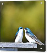 Tree Swallows  Acrylic Print