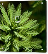 Tree Top Dew Drop Acrylic Print