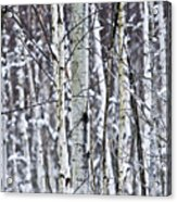 Tree Trunks Covered With Snow In Winter Acrylic Print