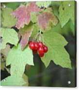 Tree With Red Berry Acrylic Print