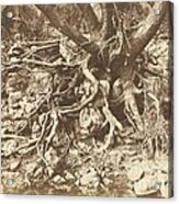 Tree With Tangle Of Roots Acrylic Print