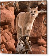 Treed Mountain Lion Acrylic Print