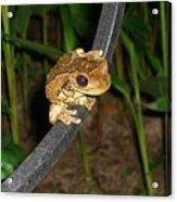 Treefrog Acrylic Print