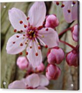 Trees Art Prints Canvas Pink Blossoms Spring Blue Sky Baslee Troutman Acrylic Print