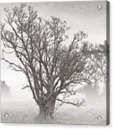 Trees In Mist- St Lucia Acrylic Print