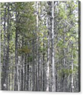 Trees In The Absarokee Beartooth Wilderness Area Acrylic Print