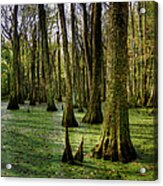 Trees In The Swamp Acrylic Print