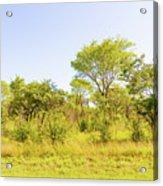 Trees In Zambia Acrylic Print