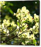 Trees Landscape Art Sunlit White Dogwood Flowers Baslee Troutman Acrylic Print