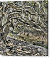 Trees Of Ziarat Acrylic Print