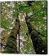 Trees Upward View Acrylic Print