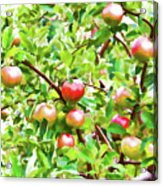 Trees With Red Apples In An Orchard Acrylic Print
