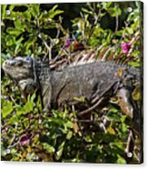 Treetop Iguana Acrylic Print