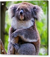 Treetop Koala Acrylic Print