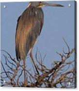 Tri Color Heron Acrylic Print