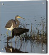 Tri-colored Heron And Glossy Ibis Acrylic Print