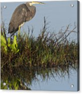 Tri-colored Heron And Reflection Acrylic Print