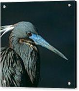 Tri Colored Heron Displaying Breeding Plumage Acrylic Print