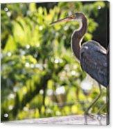Tri-colored Heron Fledgling  Acrylic Print