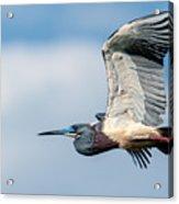 Tri-colored Heron In Flight Acrylic Print