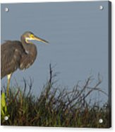 Tri-colored Heron In The Morning Light Acrylic Print