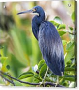 Tri-colored Heron On A Branch  Acrylic Print
