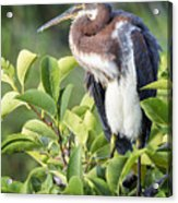 Tri-colored Heron On Guard  Acrylic Print