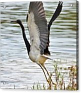 Tri Colored Heron Takeoff Acrylic Print