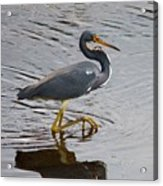 Tri-colored Heron Wading In The Marsh Acrylic Print