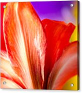 Tricolor Amaryllis Red Amaryllis Petals On A Yellow Red And Purple Background Acrylic Print