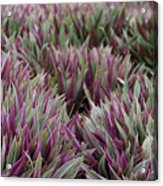Tricolor Moses In The Cradle Plant Acrylic Print