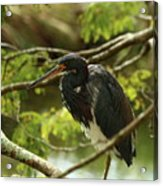 Tricolored At Rest  Acrylic Print