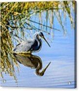 Tricolored Heron 2 Acrylic Print