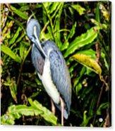 Tricolored Heron 3 Acrylic Print