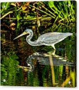 Tricolored Heron 5 Acrylic Print