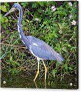 Tricolored Heron Hunting Acrylic Print