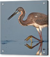 Tricolored Heron Stepping Acrylic Print