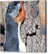Tricolored Squirrel Acrylic Print