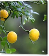 Trifoliate Orange Acrylic Print