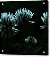 Trifolium Montanum Acrylic Print