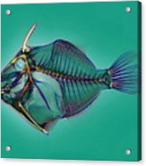 Triggerfish Skeleton, X-ray Acrylic Print by D. Roberts