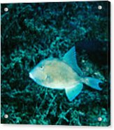Triggerfish Swimming Over Coral Reef Acrylic Print