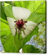 Trillium Wildflower Acrylic Print